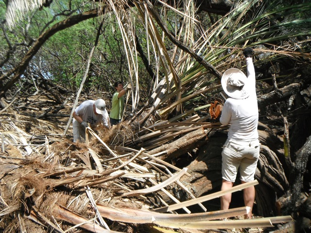 Thorny, invasive palms are cleared to help protect area around cultural sites.