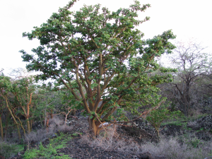 Rare native wiliwili forest occupies planned shopping center location, Wailea 670.